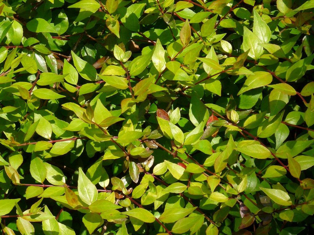 ハナゾノツクバネウツギ園芸品種
