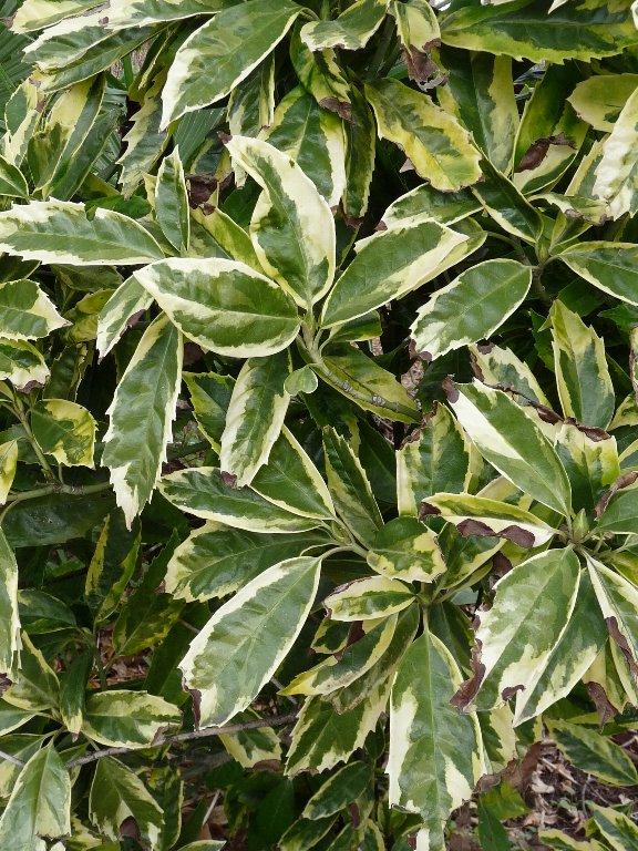 アオキ (植物)の画像 p1_37