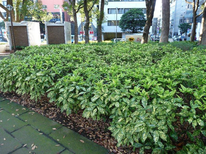 アオキ (植物)の画像 p1_33