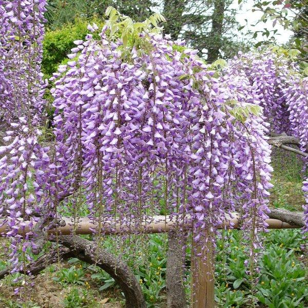 フジ (植物)の画像 p1_23